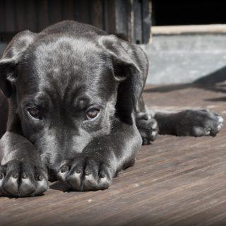 Ein schwarzer Hund liegt auf dem Boden und versteckt sich hinter seinen Pfoten